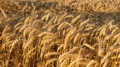 9/24/2021 Financial News In China: $71 Billion Added In Cash In Past Week To Calm Evergrande Nerves; Communist China Increases Australian Wheat Imports Despite Trade Stand-Off